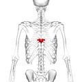 Thoracic vertebra 8 posterior.png