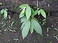 Thottea corymbosa-3-chemmunji-kerala-India.jpg