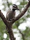 Thripias namaquus -Hlane Royal National Park, Swaziland-8