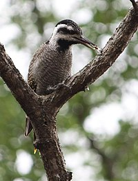 Thripias namaquus -Hlane Royal National Park, Swaziland-8.jpg