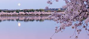 George Mason Memorial - Image: Tidal Basin Cherry Blossoms panoramio