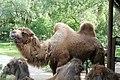 Tierpark-pyrmont-kamel.jpg