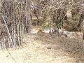 Tiger image26.jpg