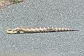 Tiliqua scincoides (37750356226).jpg