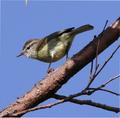 Timor leaf warbler.png
