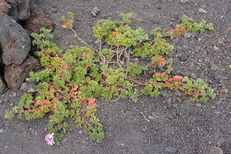 File:Tinajo - Montaña Colorada - Pelargonium capitatum 02 ies.jpg