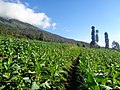 Tobacco Fields on the slopes of Mt. Sumbing.jpg
