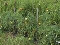 Tomatoes (1077067078).jpg
