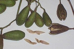 Toona ciliata - Image: Toona ciliata capsules and seeds