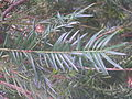 Torreya californica zampach1.JPG