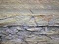 Trace fossil in Vinton Member siliciclastics (Logan Formation, Lower Mississippian; Rt. 16 roadcut northeast of Frazeysburg, Ohio, USA) 7 (33430131555).jpg