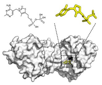 Enzyme - Image: Transketolase + TPP