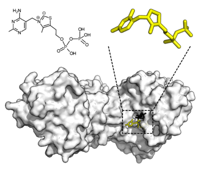 Thiamine pyrophosphate displayed as an opaque globular surface with an open binding cleft where the substrate and cofactor both depicted as stick diagrams fit into.