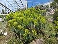 Trauttmansdorff gardens - Euphorbia characias 04.jpg
