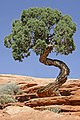 Tree Canyonlands National Park.jpg