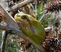 Tree Frog. Hylea arborea - Flickr - gailhampshire.jpg