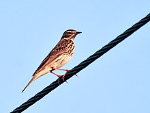 Tree Pipit (Anthus trivialis) at Sindhrot near Vadodara, Gujrat Pix 232.jpg