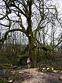 Tree pruning in Nelson, Lancashire.jpg