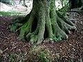 Tree roots - geograph.org.uk - 552037.jpg