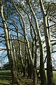 Trees on Corse Wood Hill - geograph.org.uk - 1505100.jpg