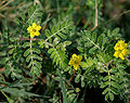 Tribulus terrestris (Puncture Vine or Gokharu) in Hyderabad W IMG 8890.jpg