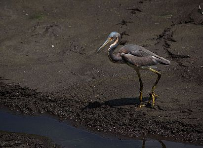 Tricolored heron In Six Mile Cypress Slough Preserve.jpg