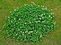 Trifolium repens 001.JPG