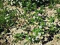 Trifolium suaveolens sl14.jpg