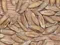 Triticale seeds (2).jpg