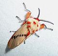 Trosia nigropuntia - Megalopygidae (7420637318).jpg