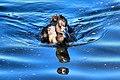 Tufted Duck - RSPB Radipole Lakes (29807456981).jpg