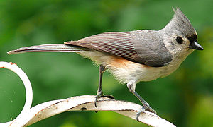 A Tufted Titmouse (Baeolophus bicolor). Photo ...