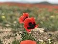 Tulip Fields in Armenia E6183 05.jpg