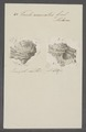 Turbo coronatus - - Print - Iconographia Zoologica - Special Collections University of Amsterdam - UBAINV0274 082 23 0020.tif