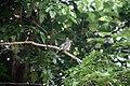 Turdus plumbeus in Dominica-a06.jpg