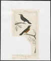 Turdus spec. - 1838 - Print - Iconographia Zoologica - Special Collections University of Amsterdam - UBA01 IZ16500017.tif