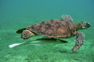 Comoro Islands - Turtle