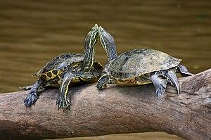 Reproducción e hibernación  De las tortugas acuáticas  300px-Turtles_Costa_Rica