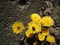 Tussilago farfara flowers.jpg