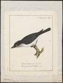 Tyrannus carolinensis - 1700-1880 - Print - Iconographia Zoologica - Special Collections University of Amsterdam - UBA01 IZ16500357.tif