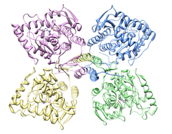 Tyrosine hydroxylase showing all four subunits.png