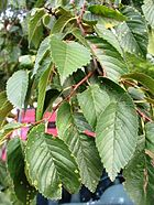 Ulmus hollandica Christine Buisman foliage.jpg