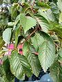 Ulmus hollandica Christine Buisman foliage.jpg