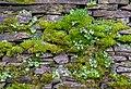 Umbilicus rupestris in Aveyron.jpg