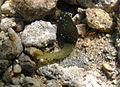 Un ver de la famille des Bonelliidae.jpg