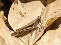 Unidentified brown grasshopper, Sambisari Temple Complex, Yogyakarta, 2014-09-28 09.jpg