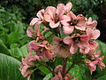 Unidentified pink cluster flowers in garden2.jpg
