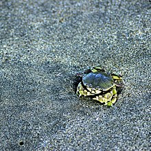 Unique Brachyura at the shore of Alibaug Beach, Maharashtra.jpg