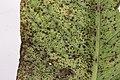 Uromyces rumicis on Rumex Subgen. Rumex (44637616725).jpg