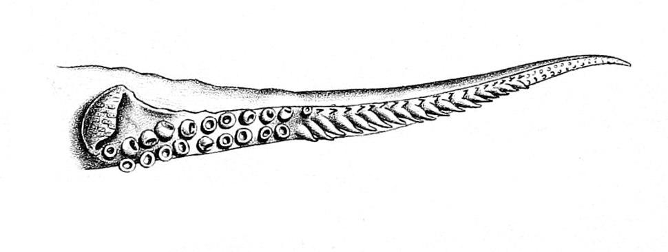 Uroteuthis duvauceli hectocotylus